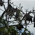 bats (during the day) in Sydney Botanic Gardens
