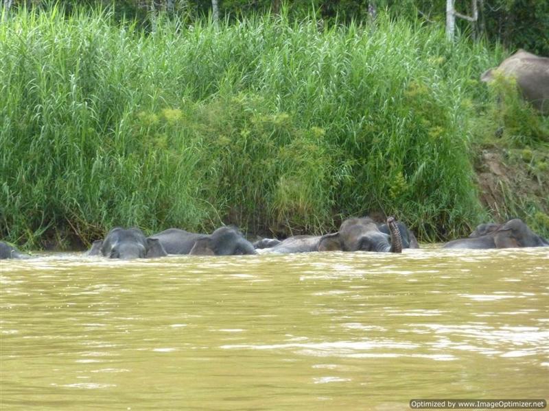Kinabatangan River -Pigmy Elephants