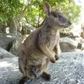 Granite Gorge - Rock Wallaby with joey
