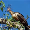 Hoxy bird