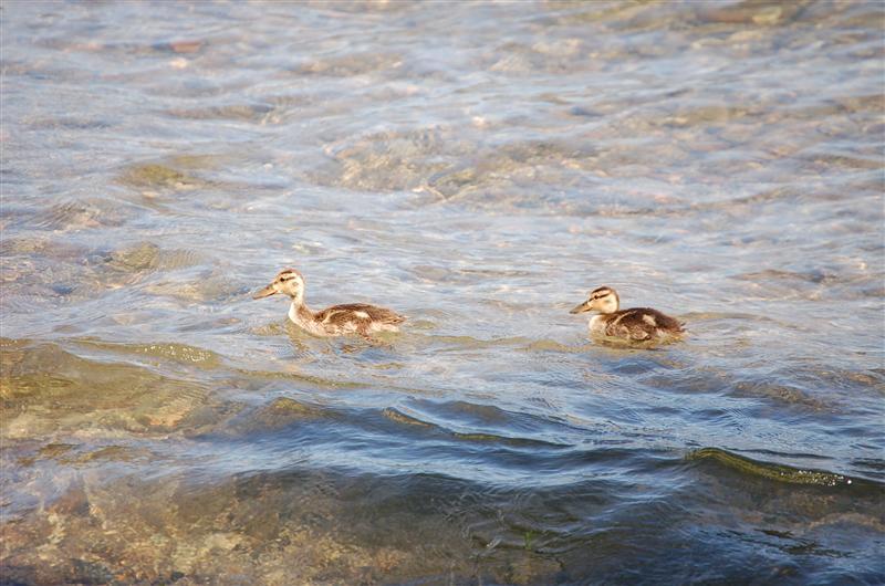 Ducklings - our wildlife shot