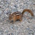 Chipmunk at Joffre Lake