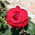 A Spanish Rose