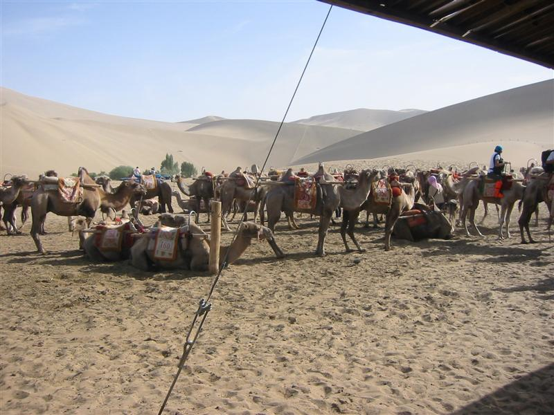 Camels for sale, $0 down, 0% APR