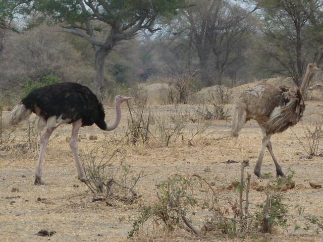 2 ostrichs