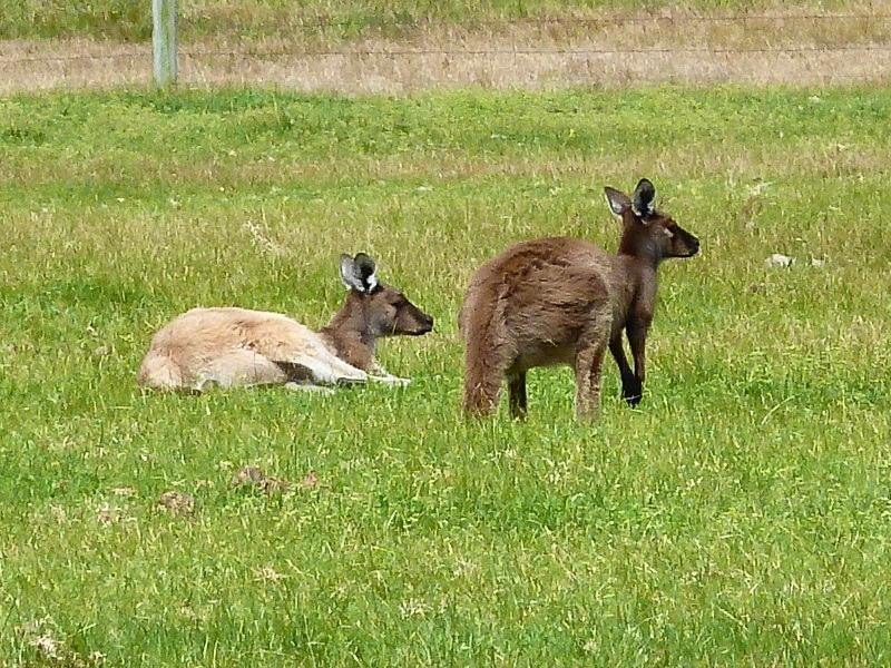 Kangaroos playing in the field