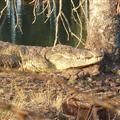 A Croc