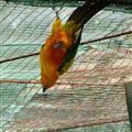 An upside down lovebird