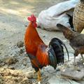 A cock