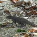 A litte monitor lizard