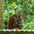 Orangutans comforting each other from scary monkeys