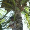 Picking the coconuts for us