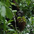 Orangutan watching us