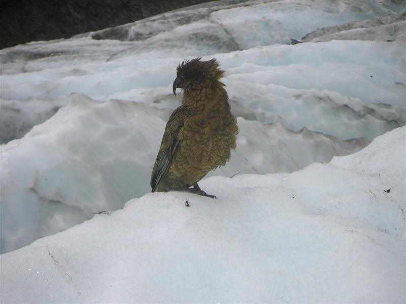 Poser Kea bird (type of parrot) on the glacier