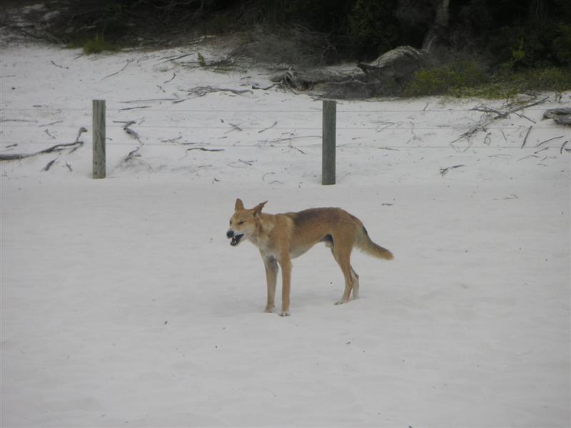 Wild Dingo! looking viscious on Lake Mackensie