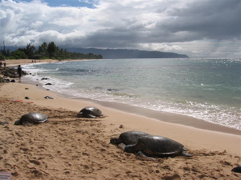 Massive turtles sunbathing on the beach