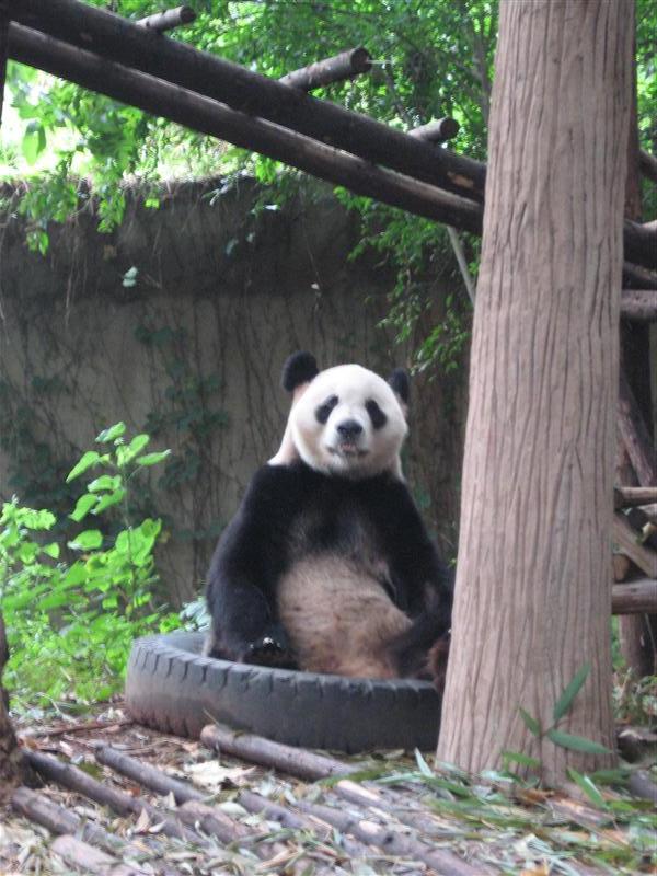 A panda in a tyre