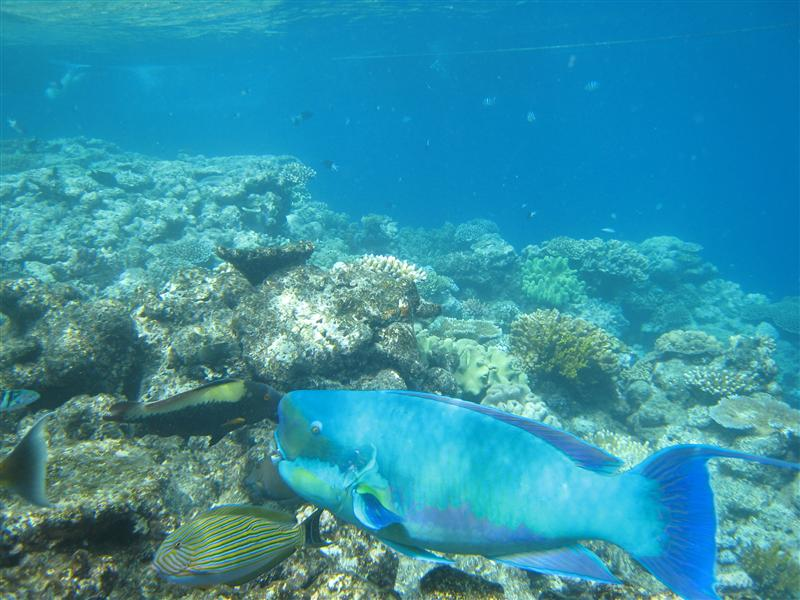 A giant parrot fish