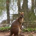 A wallaby and her joey