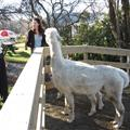 My mum baffling Ang and the alpacas with a Wayne's World style 'schwing'.