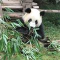 A panda doing what pandas do best.