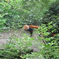 A Red Panda - asleep