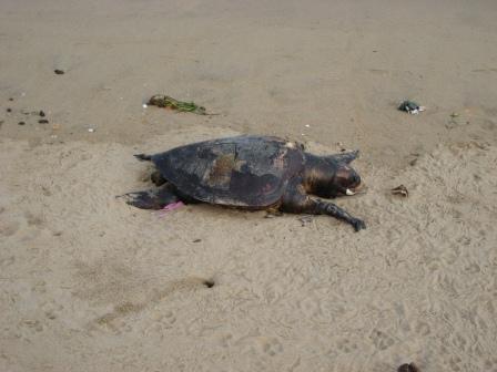 Tote Riesenschildkröte am Elliots Beach ... ca. 1/2m lang