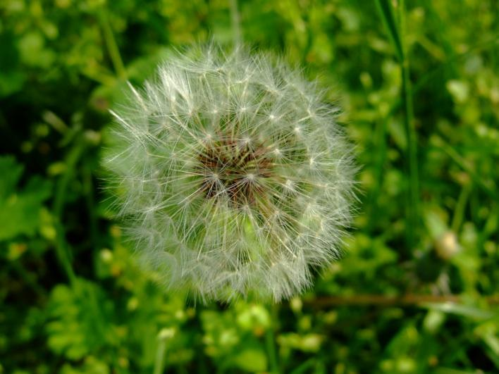 Dandelion - i cant believe i took this! postcard quality!