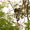 Howler Monkey, ready to pee