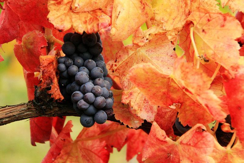 Sleepy grape vines