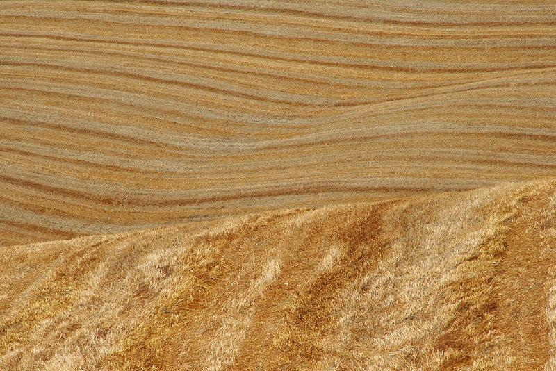 Close up of wheat fields in Tuscany, loved the lines