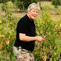 Barbara harvesting grapes