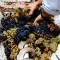 James feeding grapes into the de-stimmer