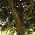 Big tree in Phoenix Park