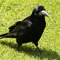 Local Raven @ Blarney Castle