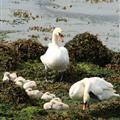 Swans and seven signets