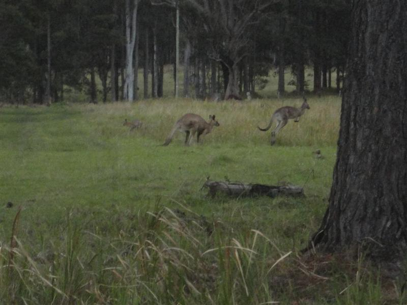 First kangaroos