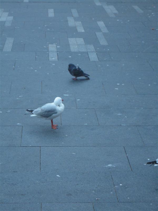 Pigeon vs Mouette