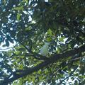 Perroquet a Sydney
