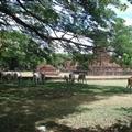 Cows at Wat Son Khao