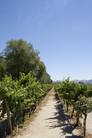 Conch Y Toro - Original Vines (~30 years old)