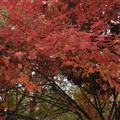 Japanese maple trees on my street