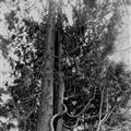 Clumber Park Tree