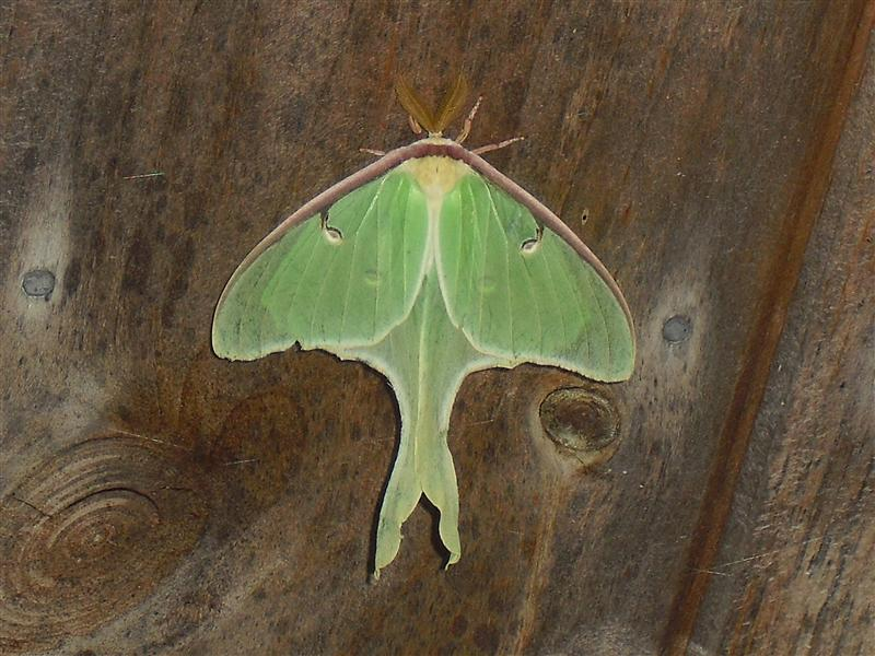 Luna Moth on our house
