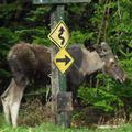 Moose at our Park sign