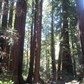 The Redwood Forrest