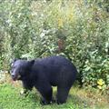 A little black bear with no fear came up to our car....