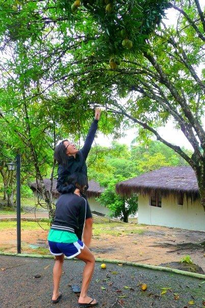 Mango picking...