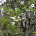 tea tree in flower