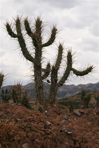 Cactus near Sacsayhuaman